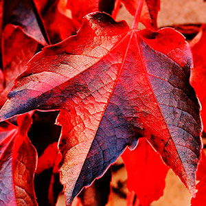 Red wine leave